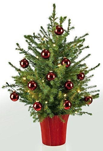 echter weihnachtsbaum bescherung picea omorika 60 80cm in rot dekoriert plus indoor. Black Bedroom Furniture Sets. Home Design Ideas
